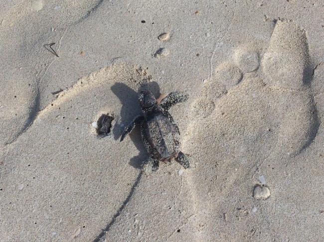 Sea Turtle Escape